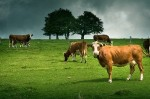 cows-on-grass